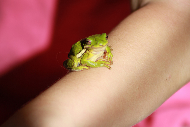 A green tree frog sitting on someone arms.