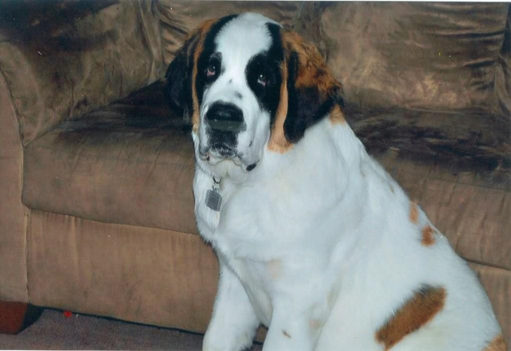 This is Martino's Saint Bernard, Thor, posing for the camera.