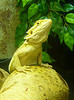 This is a pet Bearded Dragon. Photo credits to  Craig Murphy.