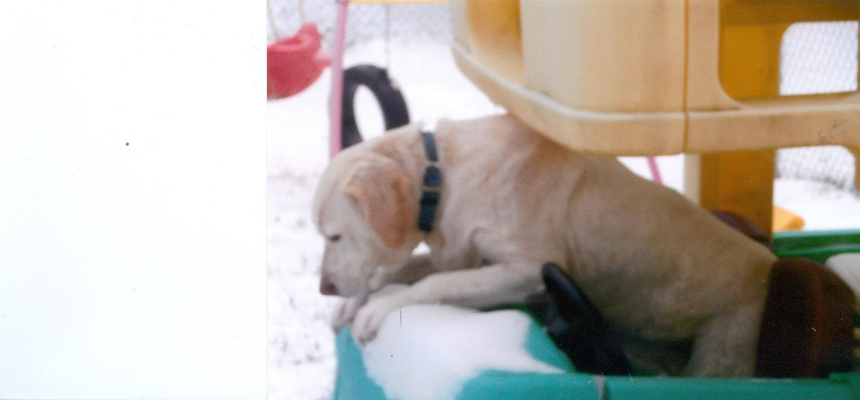 This is Noel's yellow lab, Jasmine, enjoying a ride in a play car.