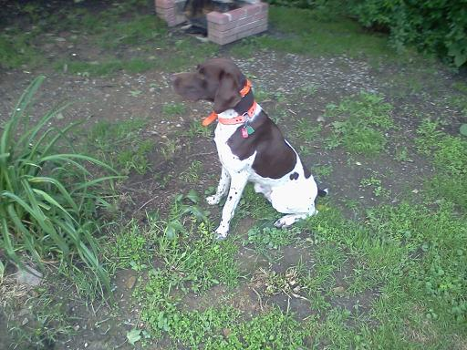 This is the German Short haired pointer named Meister posing for the camera. Photo credits to Lisa Plummer.