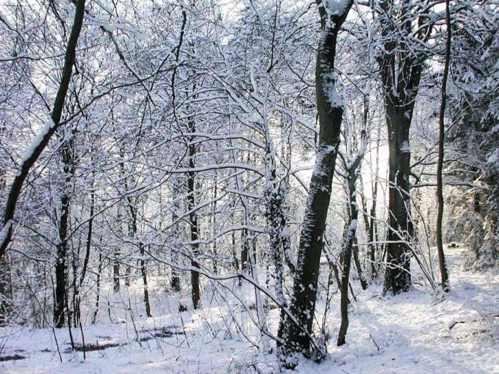 Courtesy of http://www.public-domain-image.com/nature-landscapes-public-domain-images-pictures/forest-public-domain-images-pictures/snow-in-forest.jpg.html
