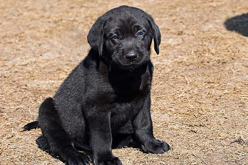 This is an example of what Cheese, the Black Lab, looks like.