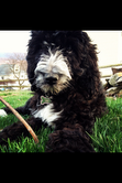 This is Gracie the Springerdoodle. Photo taken by Rhiannon Stangl.