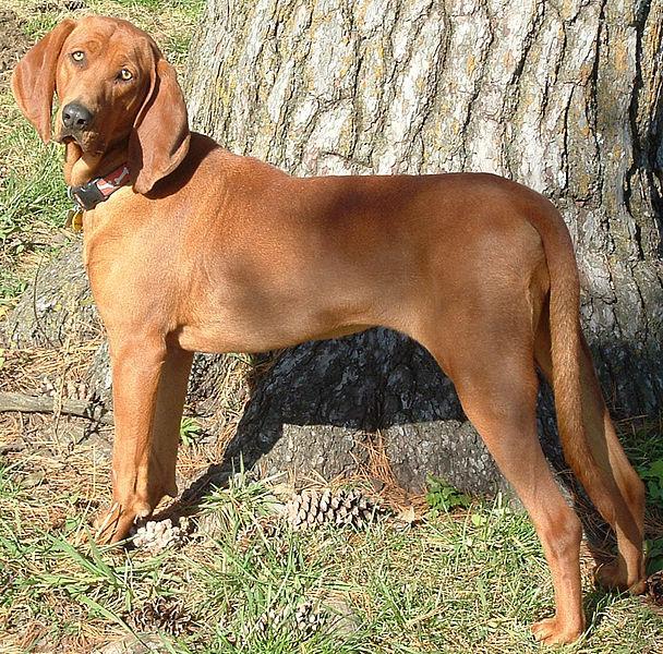 Courtesy of: http://en.wikipedia.org/wiki/File:Memphis_the_Redbone_Coonhound_(7_Nov_2004).jpg