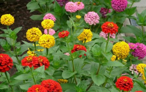 Zinnias growing in the soil. The flower colors produced were blood orange, yellow and baby pink.