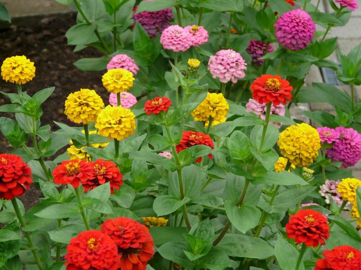 Zinnias+growing+in+the+soil.+The+flower+colors+produced+were+blood+orange%2C+yellow+and+baby+pink.