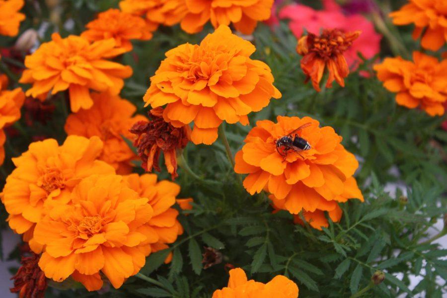 An insect surveys the vibrant orange petals of a flower.